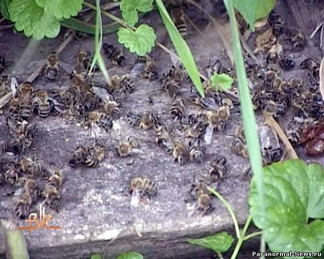 Массовая гибель пчёл по всему миру.