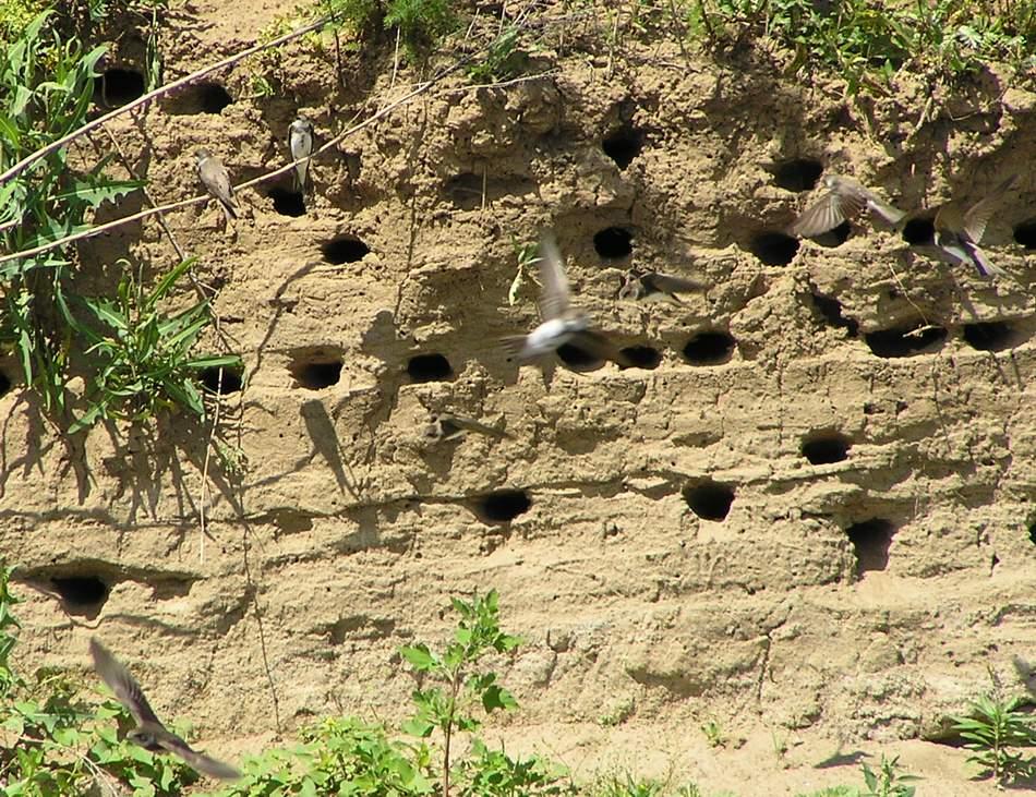 Гнездовье стрижей в речном берегу